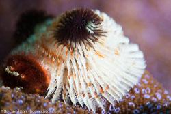 BD-141015-Komodo-4921-Spirobranchus-giganteus.-Pallas-1766-[Christmas-tree-worm].jpg